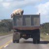 豚肉にはなりたくない!トラックの上から豚が決死のダイブで大脱出!