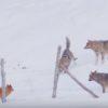 3匹の狼に囲まれた犬の奇跡の生還!すばやい動きで狼を翻弄!