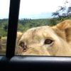 車の中でも安全じゃない!ライオンが車の扉を開けてくる恐怖体験!!