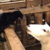 羊小屋の柵の上をウロウロする猫。羊のちょっかいにより大ケンカ勃発!