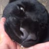 けものフレンズにも登場したブラックジャガーが人を襲ってる!?・・・と思いきや甘えて指をおしゃぶりしているただの癒し動画だった。