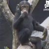 一瞬で笑える!チンパンジーの子供が自分の「お尻の臭さ」に驚いて木から落ちる動画!