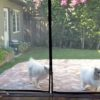 通り抜けのできる網戸に遮られて家に入れないと騒いでいる2匹の犬が可愛すぎる!