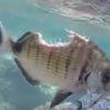 驚異の生命力!身体を食べられながらも生き延びた魚がスゴすぎる!