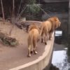 前向いて!危ないよ!お客さんを見ながら歩いていたライオンの末路・・・。